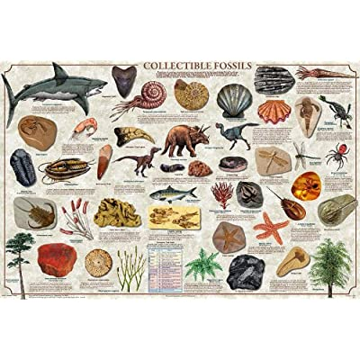 (36 x 24) Collectible Fossils Poster: Toys & Games