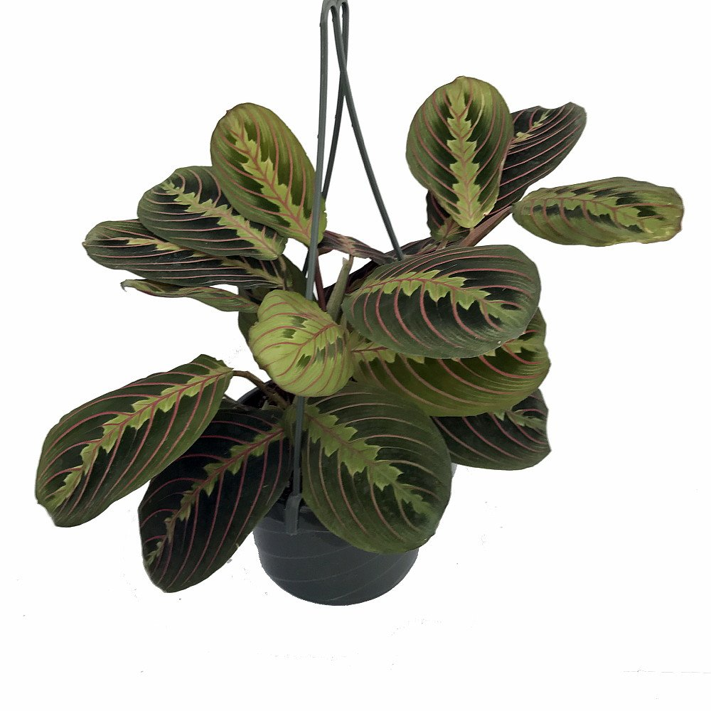 "Red Prayer Plant   Maranta   Easy To Grow House Plant   6"" Hanging Basket by Hirts: House Plant"
