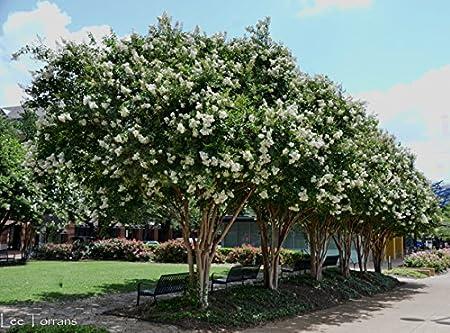 Amazon Com White Flowering Ornamental Crepe Myrtle Trees Quart