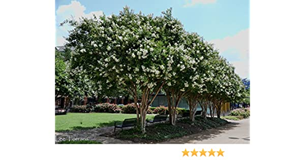 Amazon Com 16 Pack Natchez White Crape Myrtle Trees Garden