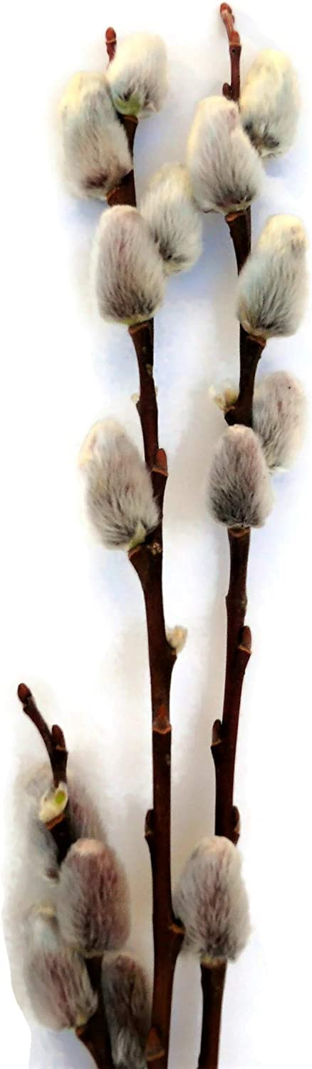 (Bunch of 20) Natural Light Brown Pussy Willow 3-4Ft Branch Stems Freshly Cut