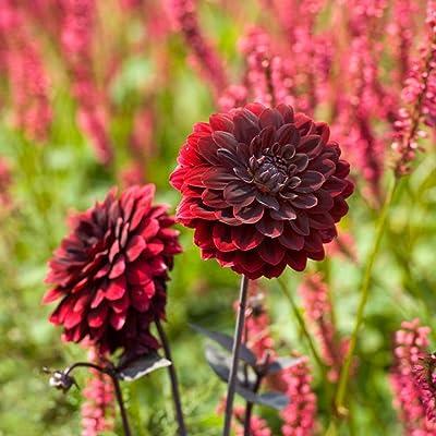 Arabian Night Decorative Dahlia - 2 Root Clumps - Crimson Red! : Flowering Plants : Garden & Outdoor