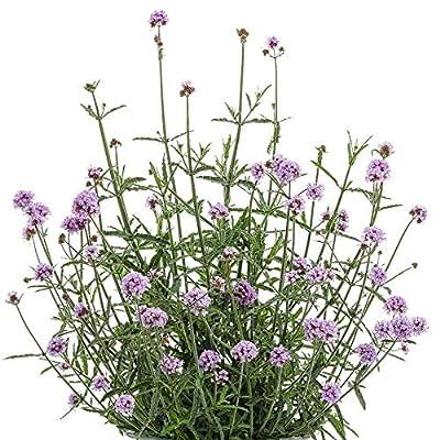 Verbena BONARIENSIS, 150 Seeds, Tall Verbena, Hardy, Purple Butterfly Magnet : Garden & Outdoor