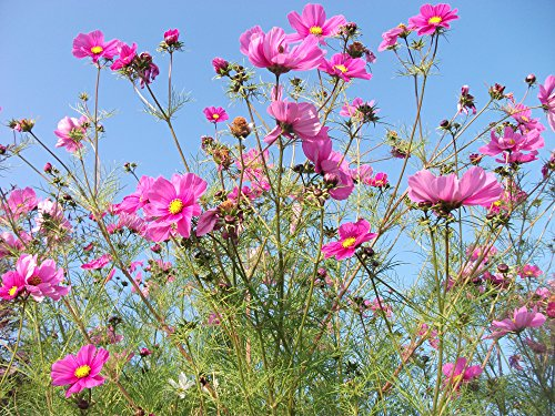 cosmos-sensation-mixed-cosmos-bipinnatus-500-seeds-with-detailed-instructions-great-for-cut-flowers-