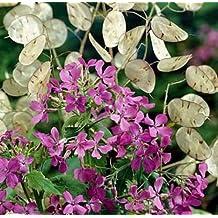 "50+ FLOWER SEEDS - MONEY PLANT - ""VIOLET"" SILVER DOLLAR PLANT, LUNARIA, HONESTY"