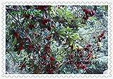 10 pcs / Pack,arbutus seeds myrica rubra seeds red bayberry seeds perennial arbutus taste sweet fruit tree