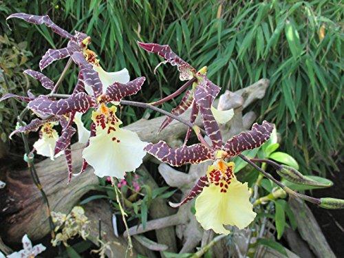 Oncidium 2016: Orchid
