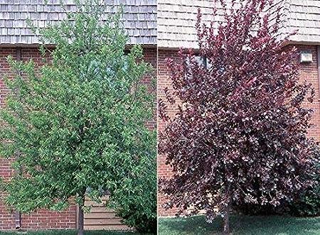 Red Choke Cherry Tree