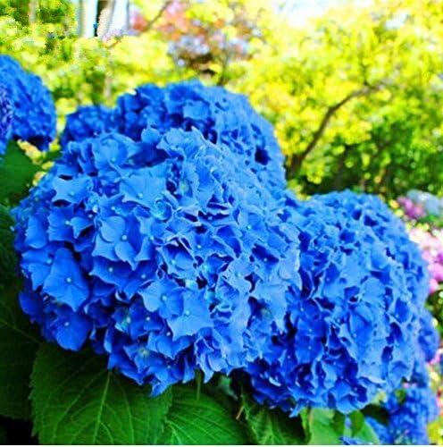 20pcs Semillas de Hortensia, Semillas de Flores Hortensia, Jardín Semillas de Flores Planta de exterior para el Hogar y Jardín Crecimiento Natural para la Plantación de Jardín, Color Azul: Amazon.es: Jardín