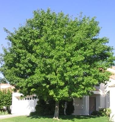 Common Ash Tree Seeds