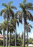 TROPICA - Cuban Royal Palm (Roystonia regia) - 8 Seeds - Palms