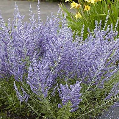 Van Zyverden 83761 Perovskia Russian Sage Set of 3 Roots Flowering-Plants #1 Blue