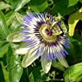 Emerald Goddess Gardens Passion Flower Vine Caerulea Common Blue, 4 Inch Pot