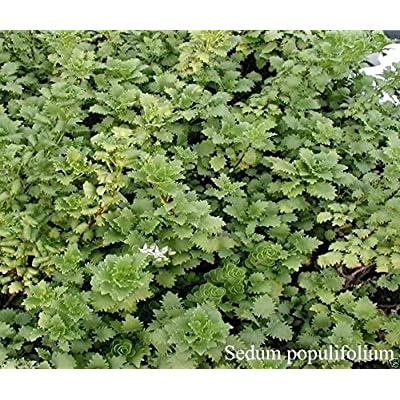50 Sedum populifolium - Twiggy and unusual Stonecrop - Flower Seeds ! : Garden & Outdoor