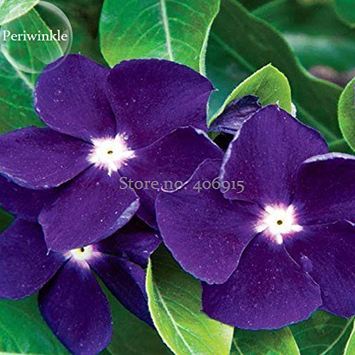 2018 Hot Vente Rare Magnifique Violet Pervenche Vinca Principaux