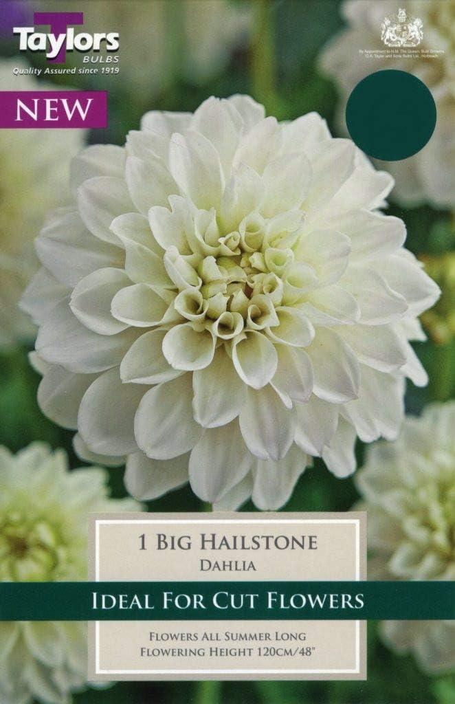 Taylors Bulbs Dahlia Big Hailstone Single Pack