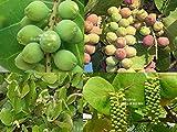 Coccoloba uvifera Sea Grape 8 Seeds RARE! Tropical evergreen Plant standard RARE White Flower Spike Patio container or Ornamental standard