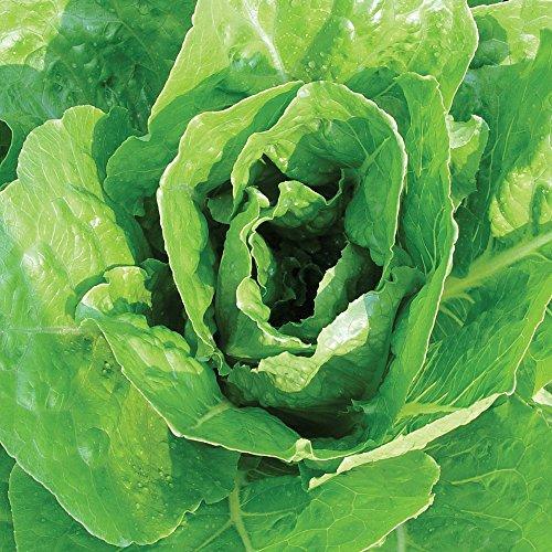 Lettuce Seed Burpee (Burpee Giant Caesar (Vivian) Organic Lettuce Seeds 750 seeds)