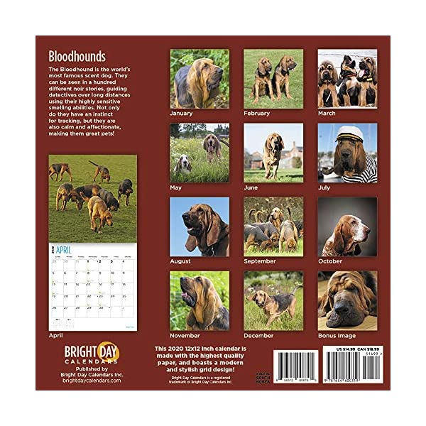 2020 Bloodhounds Wall Calendar by Bright Day, 16 Month 12 x 12 Inch, Cute Dogs Puppy Animals Hunting 2
