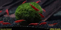 Imperial Tropicals 6 Sakura Grade Cherry Shrimp