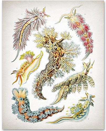 Sea Creatures - Ernst Haeckel - 11x14 Unframed Art Print - Great Gift for Beach House decore or Nature Lovers