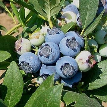 Blueberry Plants U0026quot;Biloxiu0026quot; Southern Highbush Includes ...