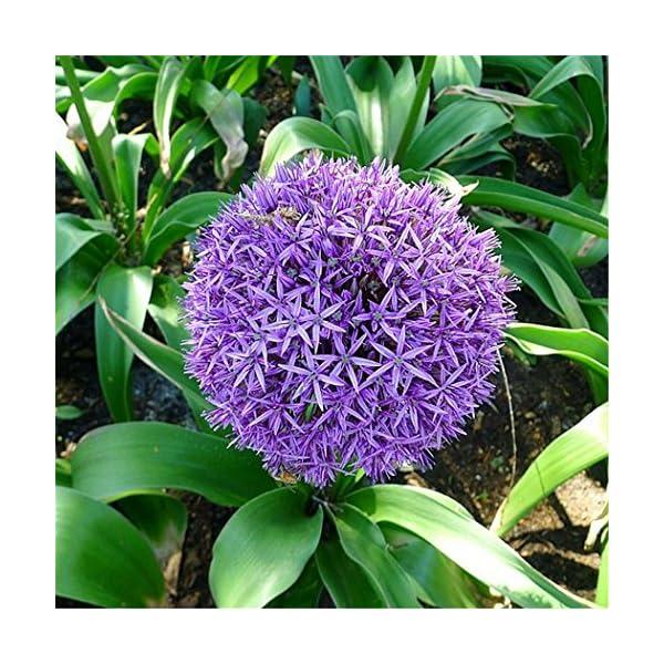 Ncient 10/20/50/100 Semi Sementi di Allium Giganteum Semi di Fiori Rari Piante Profumati per Orto Giardino Balcone… 3 spesavip