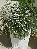Babys Breath Belaya - 800 Seeds - Organically Grown - NON-GMO
