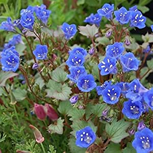 California Bluebells Flower Seeds (Phacelia Campanularia) 200+Seeds