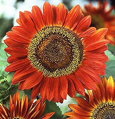 """Evening Sun Sunflower Seeds - Heads up to 6"""" Across"""