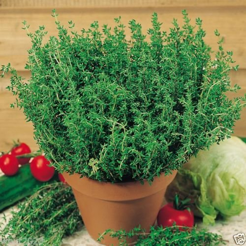 1000-thymus-vulgaris-french-thyme-seeds-sometimes-called-summer-thymeperennial-herb