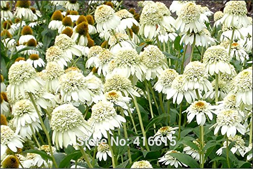 Coneflower Seeds Echinacea purpurea Cone-fections Milkshake Seeds White Colorful Flower Home Garden Flower Plants