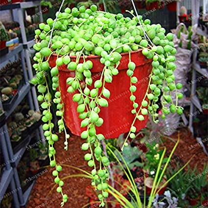 Bonsai Seeds Hanging Plant Potted Pearl Indoor Temperate Succulents Novel Flower