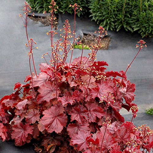(Heuchera Northern Exposure RED New Coral Bells 2.5