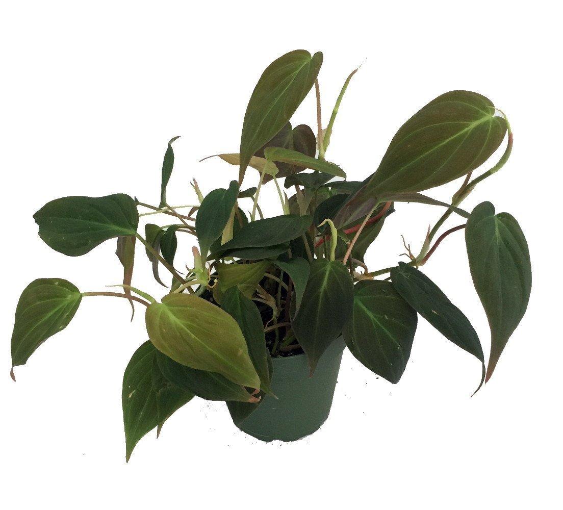 Rare Velvet Leaf Bronze Micans Vine - Philodendron - Easy to grow - 4''pot