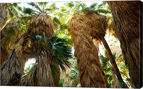 Low angle view of palm trees, Palm Springs, Riverside County, California, USA by Panoramic Images Canvas Art Wall Picture, Gallery Wrapped with Image Around Edge, 39 x 25 inches