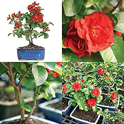 Bonsai Japanese Tree Red Quince Plant Flowers Bloom Houseplant 3 Years Best Gift: Garden & Outdoor