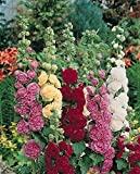 Perennial: HOLLYHOCK Chaters, Double Triumph Mix, 20 Seeds, Althea rosea, Cut Flower, High Germination, Fresh Seed, Very Easy To Grow