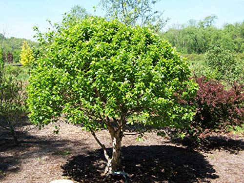 ((1 Gallon) Little King River Birch- Beautiful Broad Tree. Dense, Compact, deciduous, Multi-stemmed cultivar with an Irregular Crown which typically Grows to only 10' Tall with a 12' Spread)