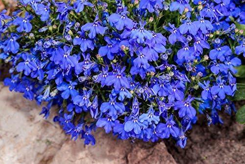 Lobelia de ribete azul; lobelia del jardín, lobelia que se ...