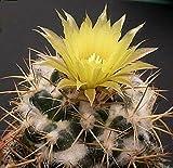 10 Coryphantha pycnacantha Seeds, Cactus Seeds