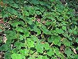 1 STARTER PLANT of Creeping Raspberry - Pot