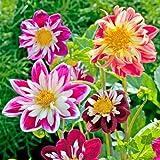 Suttons Seeds 112386 - Semi di Dahlia Yankee Doodle Dandy