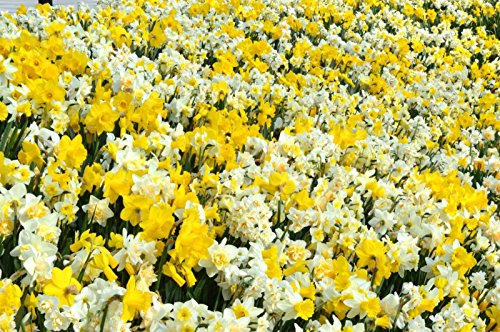 Naturalizing Daffodil - 20 Daffodil Bulb- Naturalizing Mix, Long lasting, easy care, deer resistant
