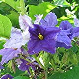 Brazilian Giant Star Potato Tree Seeds (Solanum macranthum) 10+ Rare Tree Seeds in FROZEN SEED CAPSULES for the Gardener & Rare Seeds Collector - Plant Seeds Now or Save Seeds for Years