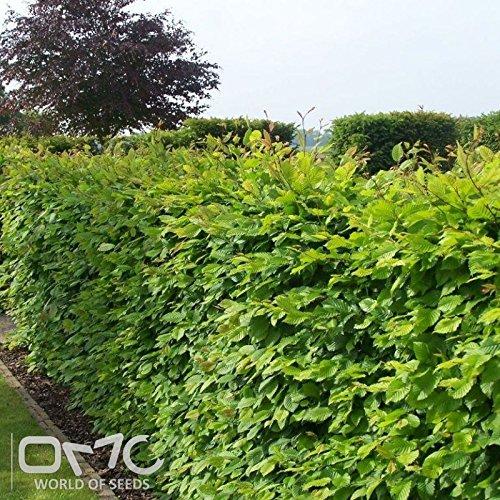 (25 seeds) Carpinus Betulus / European Hornbeam / Ironwood / Hornbeam