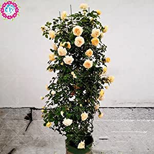 100pcs / bag rara escalada china Rose semillas de árboles en maceta, se elevó la semilla semilla de flor decorada bonsai planta de exterior para el hogar y el jardín 7