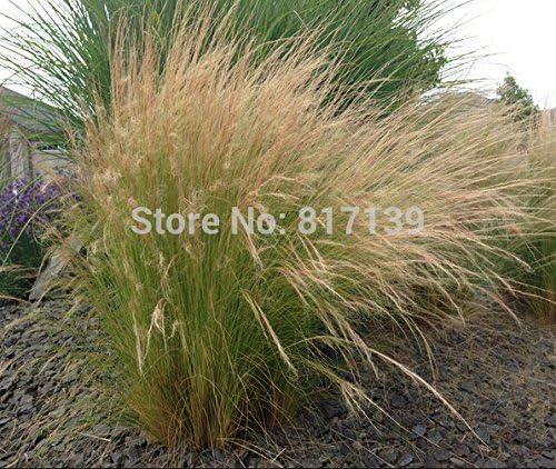 Nuevo hogar jardín de plantas 5 Semillas pluma mexicana Hierba Stipa Semillas de hierbas tenuissima: Amazon.es: Jardín
