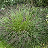 4 Bare Root of Pennisetum Alopecuroides 'Moudry' - Black Fountain Grass