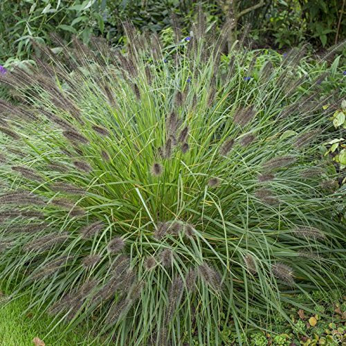 4 Bare Root of Pennisetum Alopecuroides 'Moudry' - Black Fountain Grass by MULFI_ANG